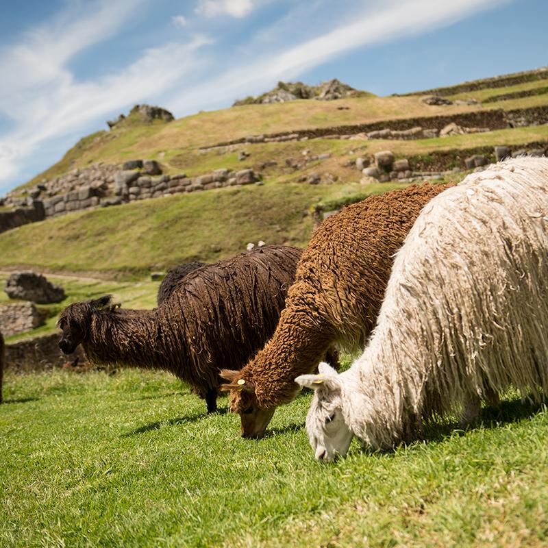 llamas grazing at Machu Picchu